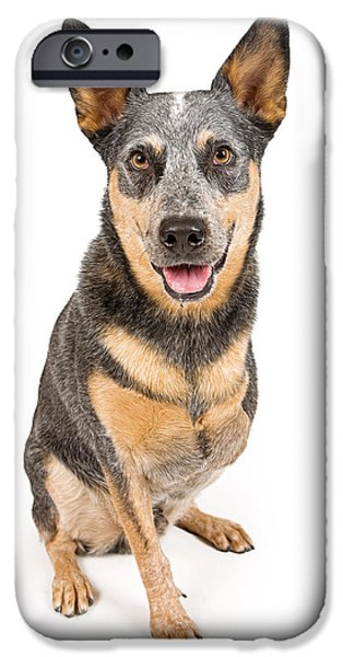 Cattle Dog iPhone Cases - Australian Cattle Dog With Missing Leg Isolated on White iPhone Case by Susan Schmitz