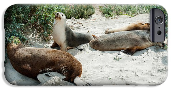 Sea Lions iPhone Cases - Australian Sea Lions Neophoca Cinerea iPhone Case by Panoramic Images