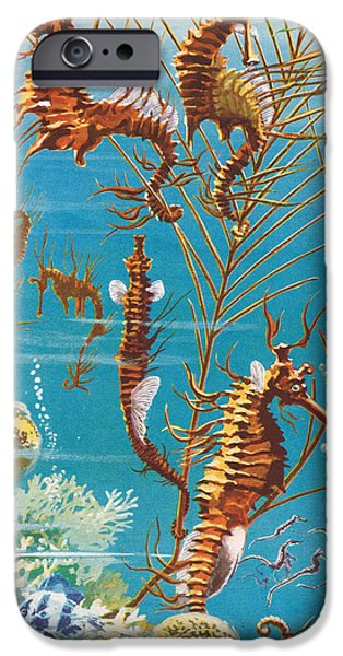 Marine Drawings iPhone Cases - Australian Seahorses iPhone Case by Leonard Robert Brightwell