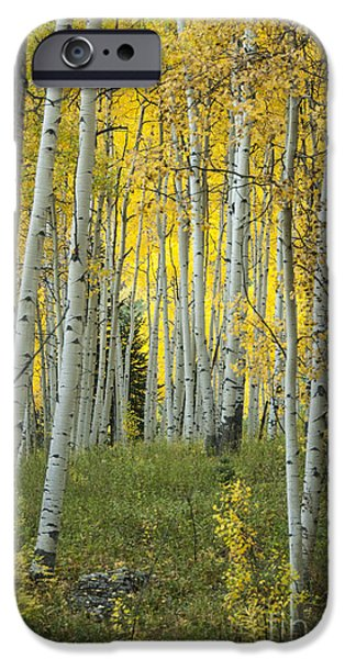 White River iPhone Cases - Autumn in the Aspen Grove iPhone Case by Juli Scalzi