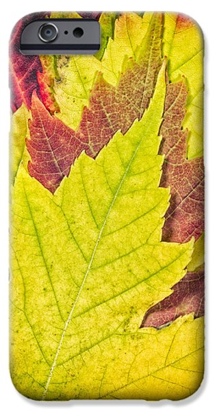 Close Up Floral iPhone Cases - Autumn Maple Leaves iPhone Case by Adam Romanowicz