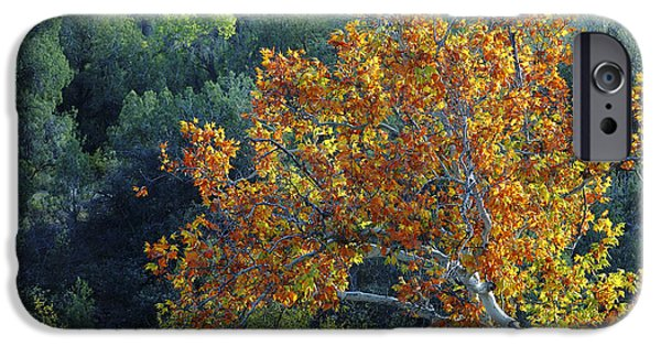 Oak Creek iPhone Cases - Autumn Maple Tree iPhone Case by Richard and Ellen Thane