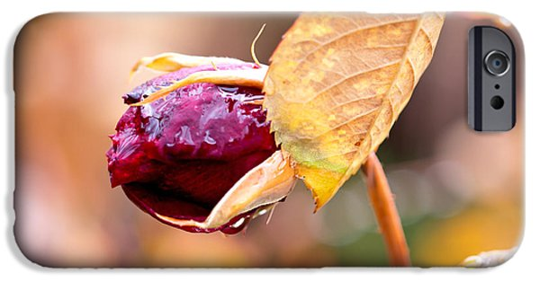 Rosaceae iPhone Cases - Autumn Rosebud iPhone Case by Rona Black