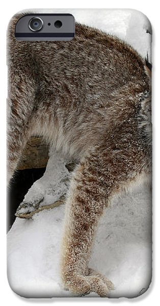 Baby Canadian Lynx Leaving the Winter Den iPhone Case by Inspired Nature Photography By Shelley Myke
