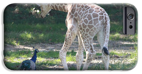 Tree Art Print iPhone Cases - Baby Giraffe and Peacock Out For a Walk iPhone Case by John Telfer