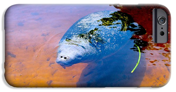 Manatee iPhone Cases - Baby Manatee 2 iPhone Case by Carey Chen