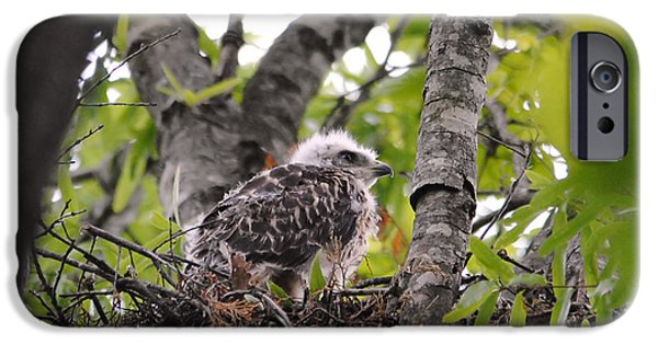Baby Bird iPhone Cases - Baby Red Shouldered Hawk in Nest iPhone Case by Jai Johnson