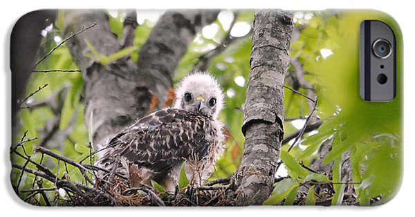 Baby Bird iPhone Cases - Baby Red Shouldered Hawk iPhone Case by Jai Johnson