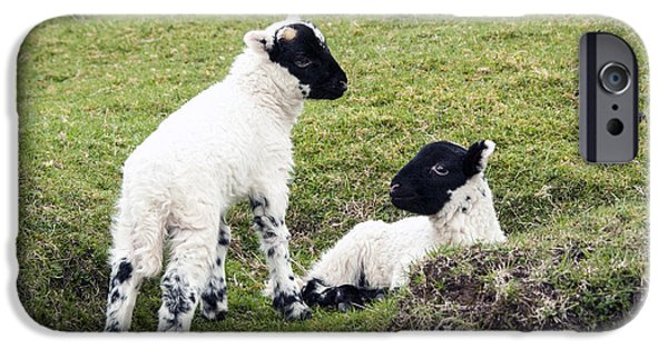 Young Photographs iPhone Cases - Baby Sheep iPhone Case by Juli Scalzi
