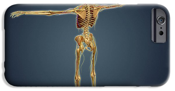 Sacral Plexus iPhone Cases - Back View Of Human Skeleton iPhone Case by Stocktrek Images
