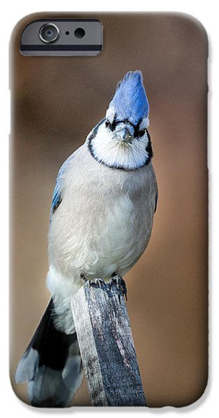 Bluejay iPhone Cases - Backyard Birds Blue Jay iPhone Case by Bill  Wakeley