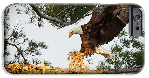 Juveniles iPhone Cases - Bald Eagle building nest iPhone Case by Everet Regal