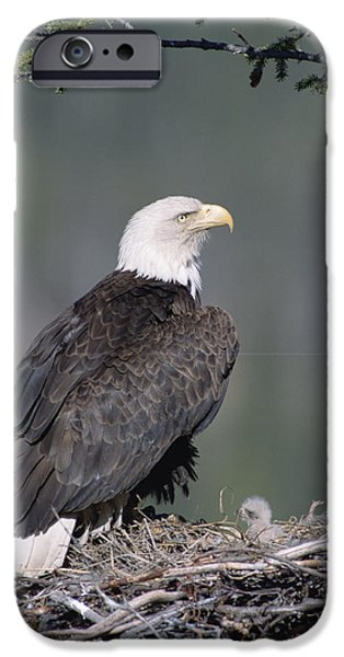 Birds iPhone Cases - Bald Eagle On Nest With Chick Alaska iPhone Case by Michael Quinton
