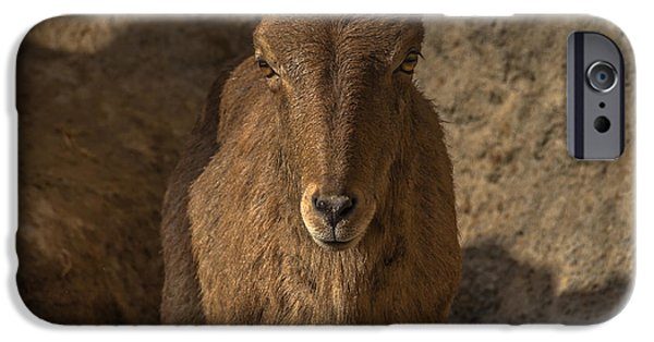 Fauna iPhone Cases - Barbary sheep iPhone Case by Chris Fletcher