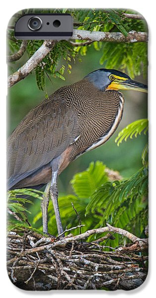 Birds iPhone Cases - Bare-throated Tiger Heron Tigrisoma iPhone Case by Panoramic Images