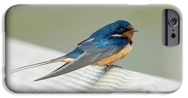 Hirundo iPhone Cases - Barn Swallow iPhone Case by Anthony Mercieca