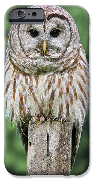 Barred Owl iPhone Cases - Barred Owl on a Fence Post iPhone Case by Jennie Marie Schell