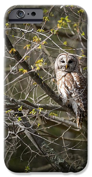 Barred Owl iPhone Cases - Barred Owl Portrait iPhone Case by Bill  Wakeley