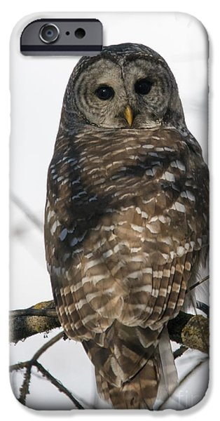Barred Owl iPhone Cases - Barred Owl Stare iPhone Case by Mike Dawson