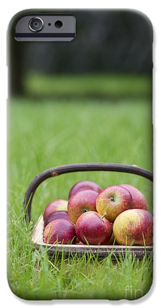 Apple Photographs iPhone Cases - Basket of Apples iPhone Case by Tim Gainey