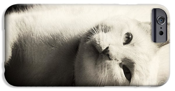 Flame Point Siamese iPhone Cases - Basking In The Sun iPhone Case by Pam  Holdsworth