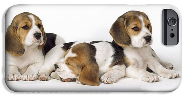 Beagles iPhone Cases - Beagle Puppies, Row Of Three, Second iPhone Case by John Daniels