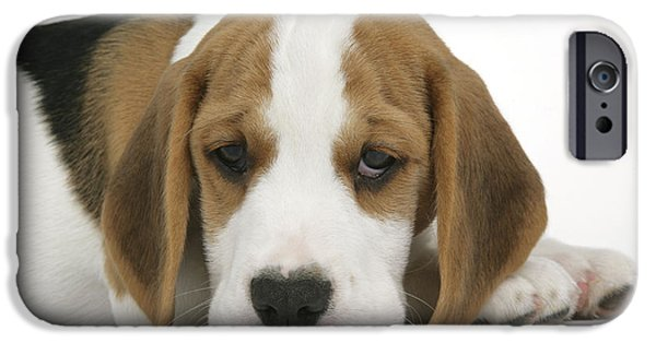 Dog Close-up iPhone Cases - Beagle Puppy Dog iPhone Case by John Daniels