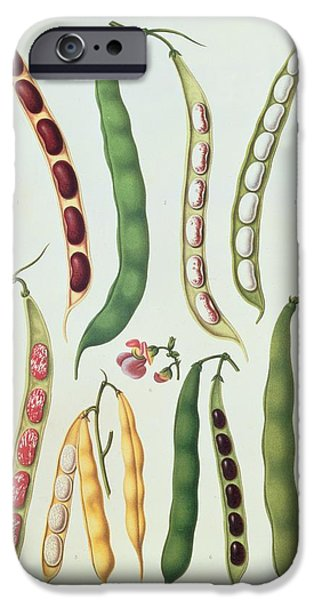 19th Century Drawings iPhone Cases - Beans iPhone Case by Ernst Benay