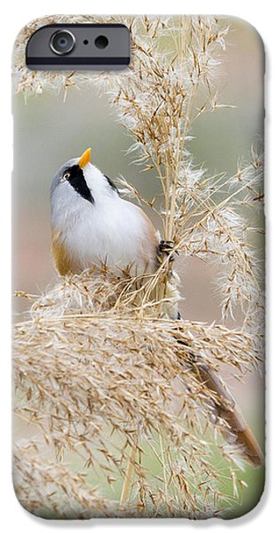 Small iPhone Cases - Bearded Tit - 3 iPhone Case by Chris Smith