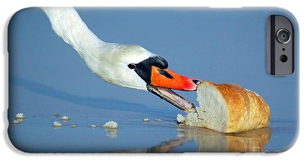 Feeds Chicks iPhone Cases - Beautiful swan eating bread iPhone Case by Michal Bednarek