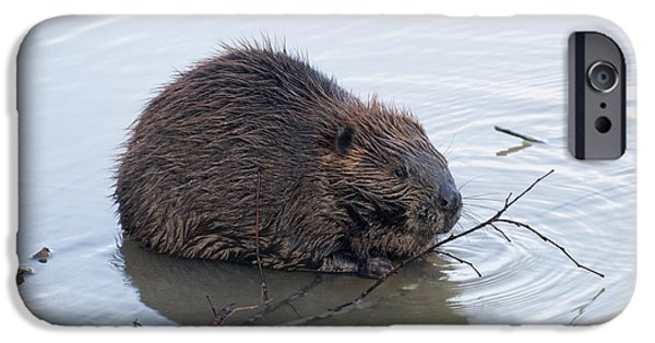 Beaver iPhone Cases - Beaver Chewing On Twig iPhone Case by Chris Flees