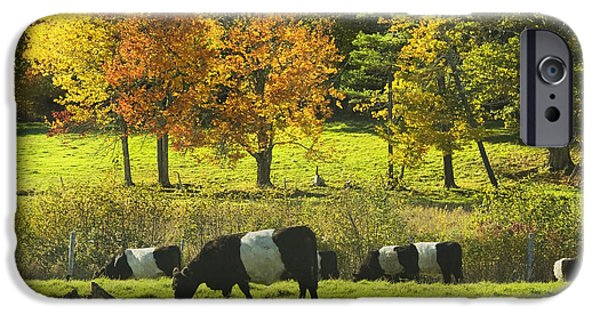 Pasture iPhone Cases - Belted Galloway Cows Grazing On Grass In Rockport Farm Fall Maine Photograph iPhone Case by Keith Webber Jr