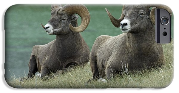 Wildlife Photographer iPhone Cases - Big Horn Sheep 3 iPhone Case by Bob Christopher