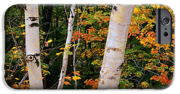 New Hampshire Fall Scenes iPhone Cases - Birch Trees In A Forest, New Hampshire iPhone Case by Panoramic Images