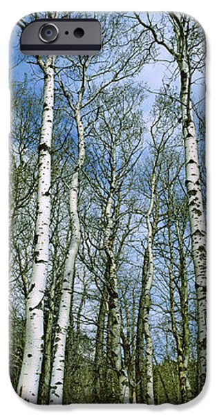 Park Scene iPhone Cases - Birch Trees In A Forest, Us Glacier iPhone Case by Panoramic Images