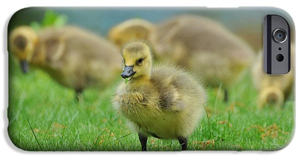 Baby Bird iPhone Cases - Bird - Baby Goose -Leader of the Pack iPhone Case by Paul Ward