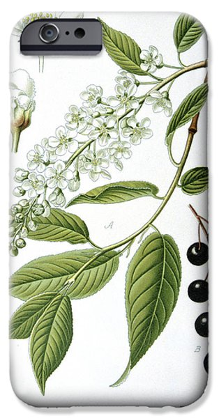 Large Drawings iPhone Cases - Bird Cherry Cerasus padus or Prunus padus iPhone Case by Anonymous