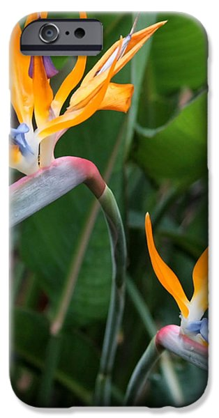 Bird of Paradise iPhone Case by Carol Groenen