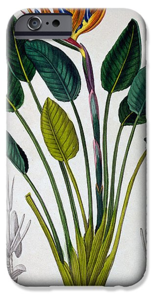 Still Life iPhone Cases - Bird of Paradise iPhone Case by Pancrace Bessa