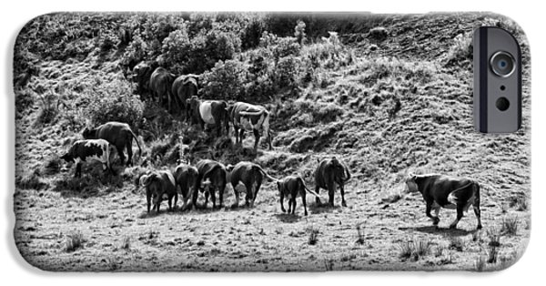 New England Dairy Farms iPhone Cases - Black and White Photo of Cows Grazing On Grass In Maine iPhone Case by Keith Webber Jr