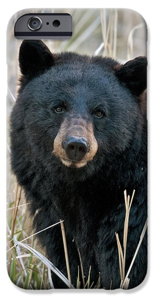 Black Bear iPhone Cases - Black Bear closeup iPhone Case by Gary Langley