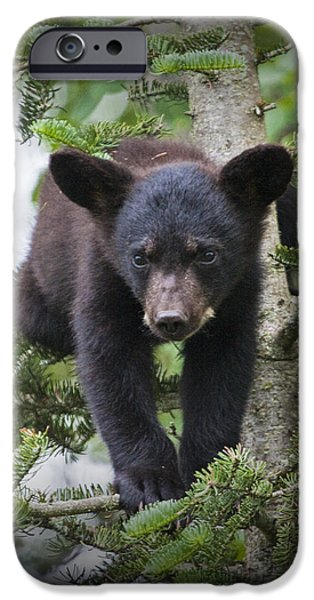 Bear Cub iPhone Cases - Black Bear Cub in a Pine Tree outside of Orr Minnesota iPhone Case by Randall Nyhof