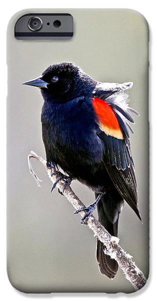 Butterfly Prey iPhone Cases - Black Bird iPhone Case by Athena Mckinzie