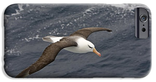 Sea Birds iPhone Cases - Black-browed Albatross Flying Scotia iPhone Case by Dickie Duckett