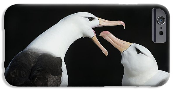 Sea Birds iPhone Cases - Black-browed Albatross Pair iPhone Case by Dr P. Marazzi