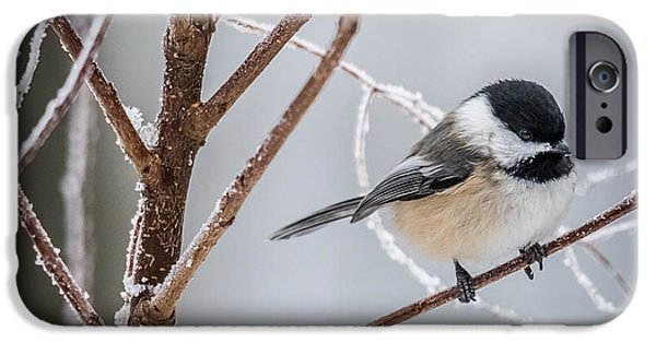 Winter Scene iPhone Cases - Black Capped Chickadee iPhone Case by Paul Freidlund