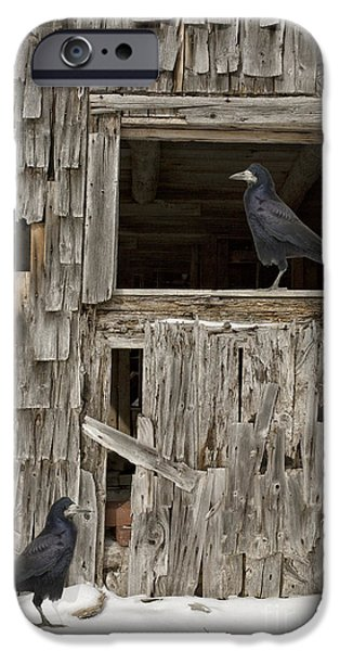 Crows Photographs iPhone Cases - Black crows at the old barn iPhone Case by Edward Fielding