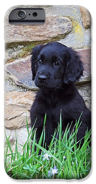 Dog Photos iPhone Cases - Black Flat Coated Retriever puppy iPhone Case by Dog Photos