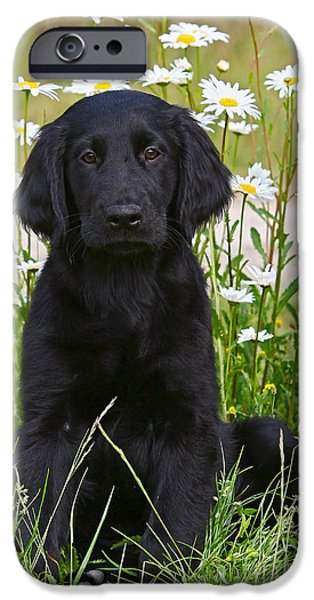 Dog Photos iPhone Cases - Black Flat Coated Retriever puppy in flowers iPhone Case by Dog Photos