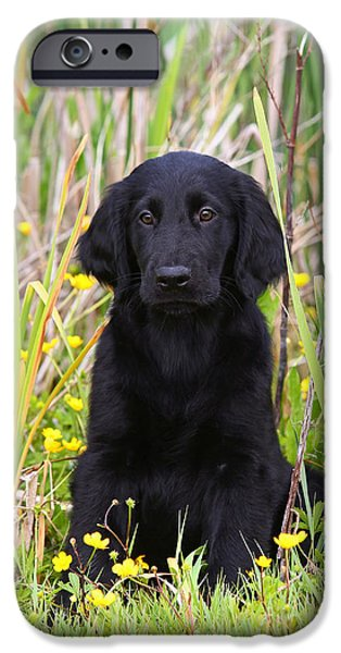 Dog Photos iPhone Cases - Black Flat Coated Retriever puppy sitting in reed iPhone Case by Dog Photos
